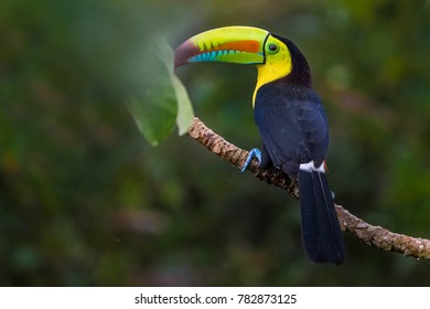 Keel-billed Toucan, Panama