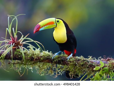 Keel-billed toucan (Ramphastos sulfuratus), also known as sulfur-breasted toucan or rainbow-billed toucan perched on a mossy branch in the rainforests of Costa Rica