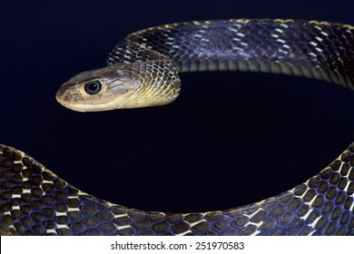 Keeled rat snake / Ptyas carinata