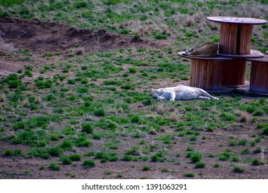Keenesburg, Colorado / USA - 28  April 2019: The Wild Animal Sanctuary Lion taking a nap at The Wild Animal Sanctuary.