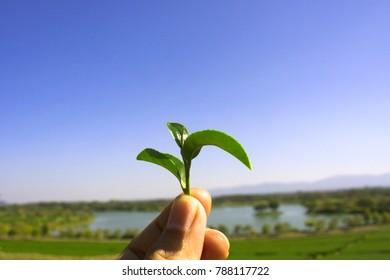 Keep tea on the farm,Use hand to store tea
