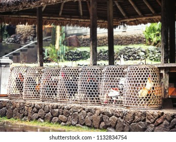 Keeping expensive roosters for cockfighting under bell-shaped baskets in a village on Bali-Island, Indonesia