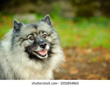 Keeshond dog outdoor portrait