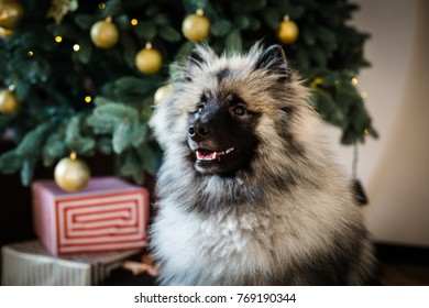 Keeshond dog sitting near the decorated Christmas tree