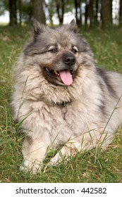 Keeshond on a hot summer day