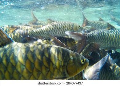 Kelah Or Mahseer In Aquarium, also known as Mahseer (Indian), Kurriah, Kukkhiah, Kajra in Southern India