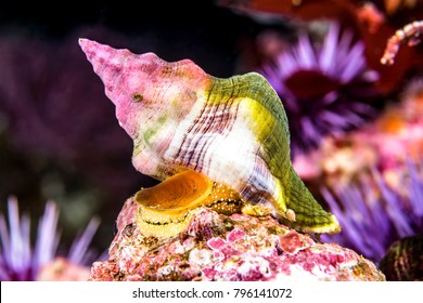A Kellets Whelk snail crawls along an underwater reef in California's Channel Islands