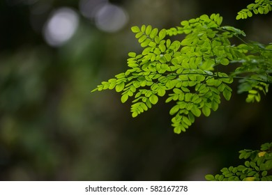 Kelor (Moringa oleifera) leaves with natural soft background for copyspace and backlit from sunlight. (Selective focusing)