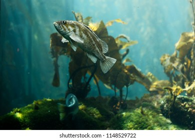 The Kelp bass (Paralabrax clathratus) is a benthopelagic species is found in or near kelp beds. Is endemic to the Eastern Pacific, and is found from central California to the tip of Baja California.