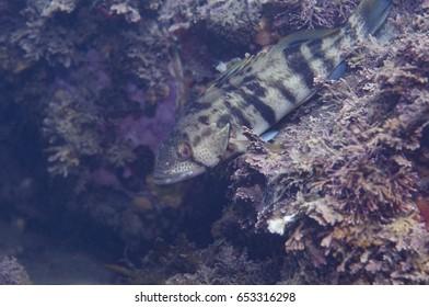Kelp Bass Sitting on a Rock