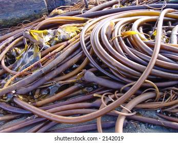 Kelp coils on beach.