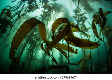 A kelp forest, dominated by giant kelp (Macrocystis pyrifera), grows off the coast of northern California. This is an important habitat for a diverse array of eastern Pacific marine life.