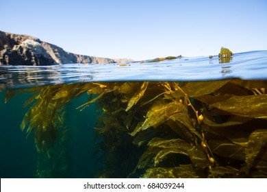 Kelp forest off the coast of Anacapa Island, Channel Islands National Park.