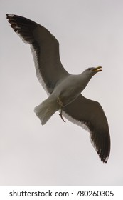 Kelp gull in flight near Opossum Bay, Tasmania, Australia