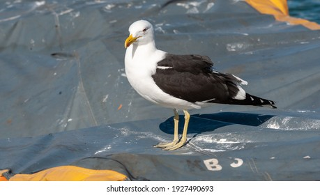Kelp Gull The largest Gull in the Western Cape