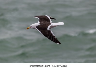 """A Kelp gull """"Larus dominicanus """"  glides over the waves in the South Atlantic ocean."""