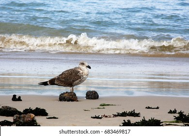 Kelp Gull on the beach.