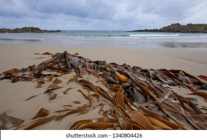Kelp or seaweed washed up on a remote Tasmanian beach. Kelp is high in iodine and alkali. Kelp is used in production of food, fertilizer, soap, glass among other  goods.