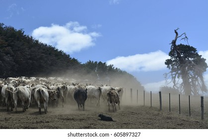 Kelpie Dog Herding cattle on a winding, hot, summer day.