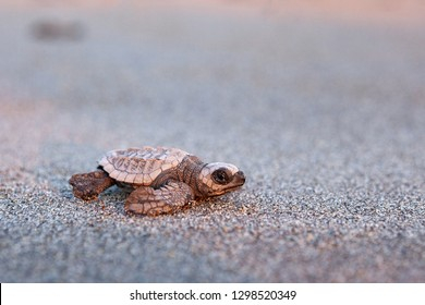 Kemp's ridley sea turtle on the sand beach of Mexico (Chiapas)