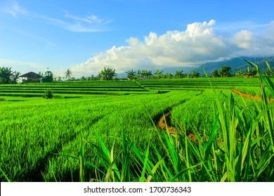 kemumu rice field, Bengkulu, Indonesia. Indonesia's landscape.