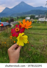 Kenikir flowers form Trawas Indonesia. - Shutterstock ID 1978132295