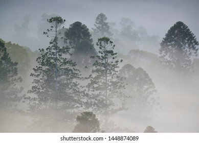KENILWORTH, QUEENSLAND, AUSTRALIA: Bunya pines Araucaria bidwillii emergent rainforest trees with distinctive domed crowns, pierce the mountain mist above rainforest canopy, Conondale Range.