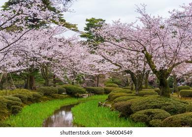 Kenrokuen Sakura