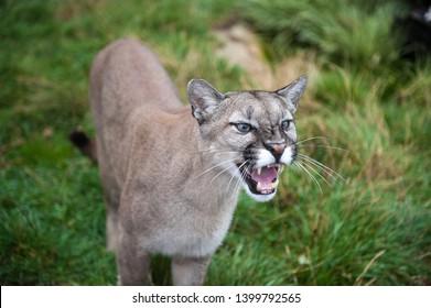 Kent, England, Britain, November 2011 Puma (Cougar, Mountain Lion) snarling and growling