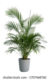 Kentia Palm Tree grey in pots. Houseplant isolated on white background - Shutterstock ID 1707468760