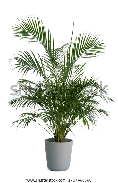 Kentia Palm Tree grey in pots. Houseplant isolated on white background