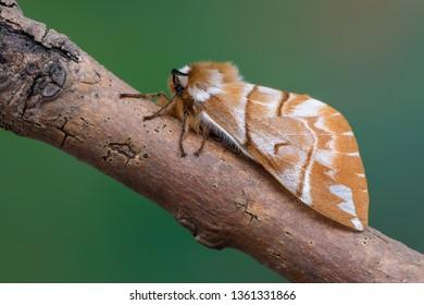 the Kentish glory - Endromis versicolora