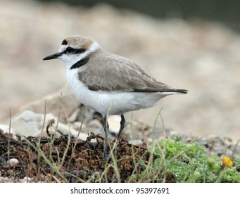 Kentish Plover on the Carmargue