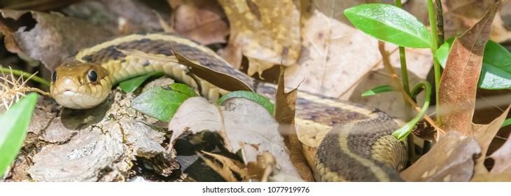 Kentucky brown snake waking from winters sleep.