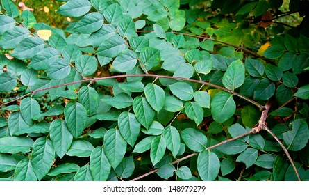 The Kentucky coffee tree is a small tree of south eastern North America. Its leaves are doubly compound.