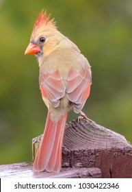 Kentucky female cardinal bird-Wildlife photography-urban wildlife.