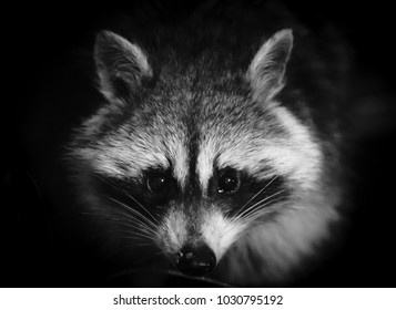 Kentucky Raccoon hunting in the night-nature photography.