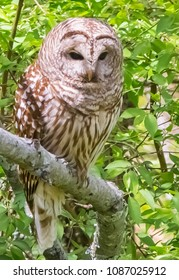 Kentucky's barred owl looking down for prey
