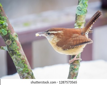 Kentucky's beautiful brown, white striped and colorful wren bird in winter time perching  looking for food. Nature photography 2019