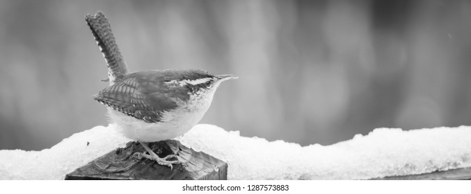Kentucky's beautiful brown, white striped wren bird in winter time perching  looking for food. nature photography 2019 Black and white photo