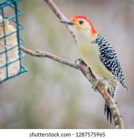 Kentucky's Beautiful and colorful red breasted woodpecker perching on branch and deck in snow trying to get to suet cage. Nature photography color 2019