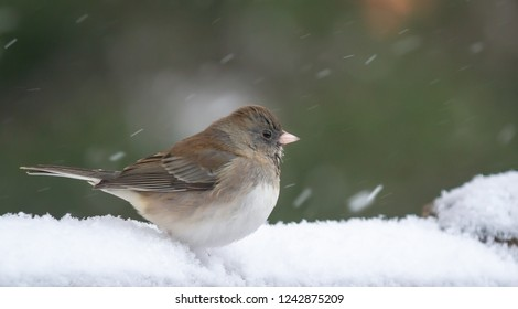 Kentucky's beautiful Junco bird snow bird showing up on the first day of snow in January 2019 Urban wildlife photography