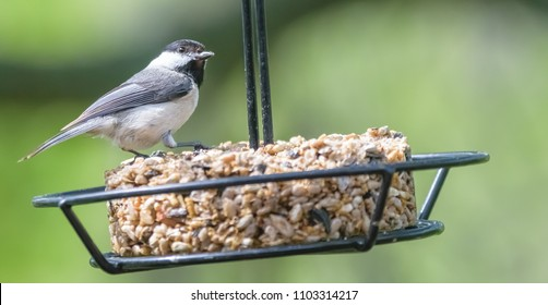 Kentucky's black capped chickadee bird