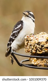 Kentucky's downy woodpecker