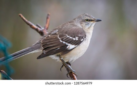 Kentucky's elusive mocking bird mid January looking for food surprise appearance 2018