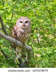 Kentucky's giant barred owl perching on branch