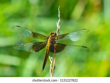 Kentucky's green and brown dragonfly basking in the sun full body