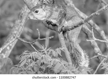 Kentucky's grey squirrel om oak tree black and white
