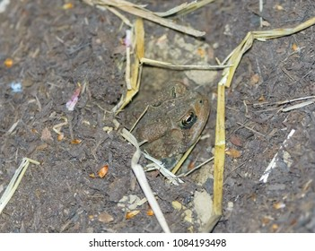 Kentucky's small toad covering up in mulch