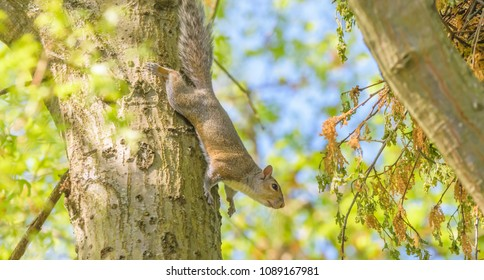 Kentucky's  squirrel removing branches from tree